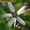 Texas wildflower - Chinaberry