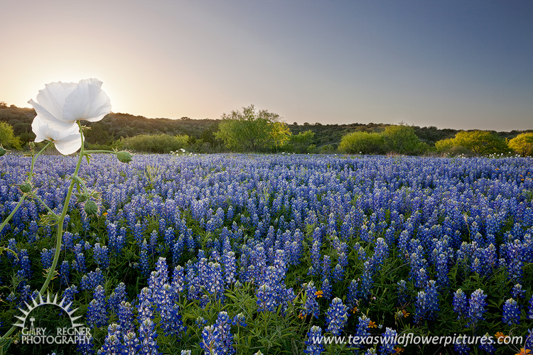 James River Bluebonnets - Texas Wildflowers at Sunset by Gary Regner