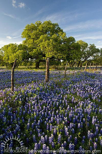 County Road - Texas Wildflowers, Bluebonnets in Hill Country by Gary Regner