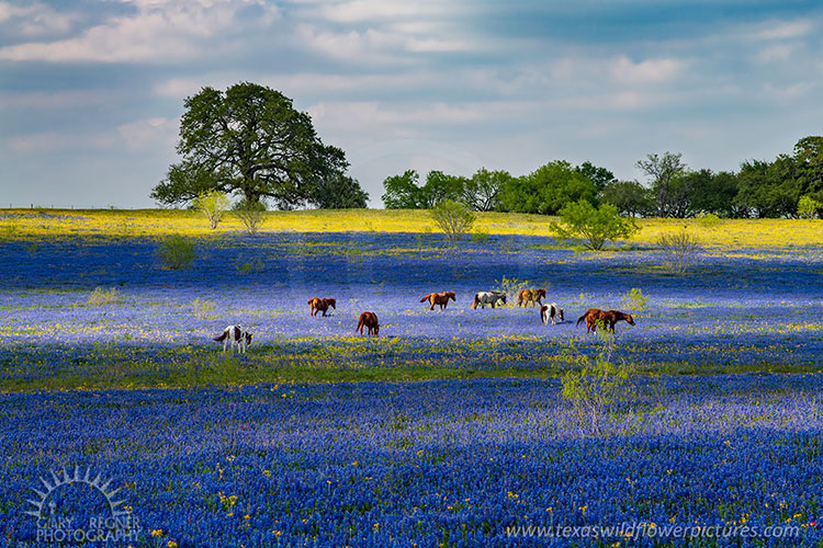Texas Wildflowers Landscape Photography