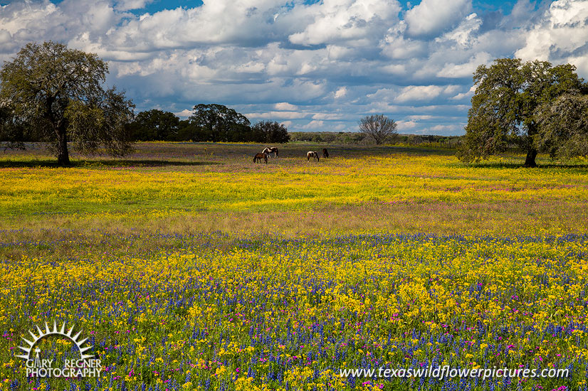 Grazing - Texas Wildflowers by Gary Regner