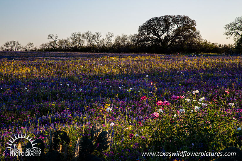 Spring on the Texas Prairie - Texas Wildflowers by Gary Regner