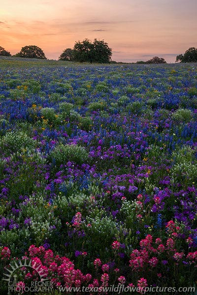 A Field of Dreams - Texas Wildflowers, Bluebonnets at Sunrise by Gary Regner