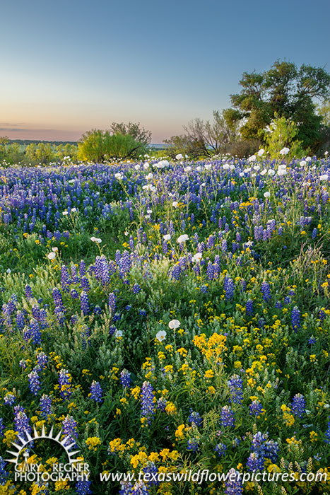 Pastoral Eve - Texas Wildflowers, Bluebonnets by Gary Regner