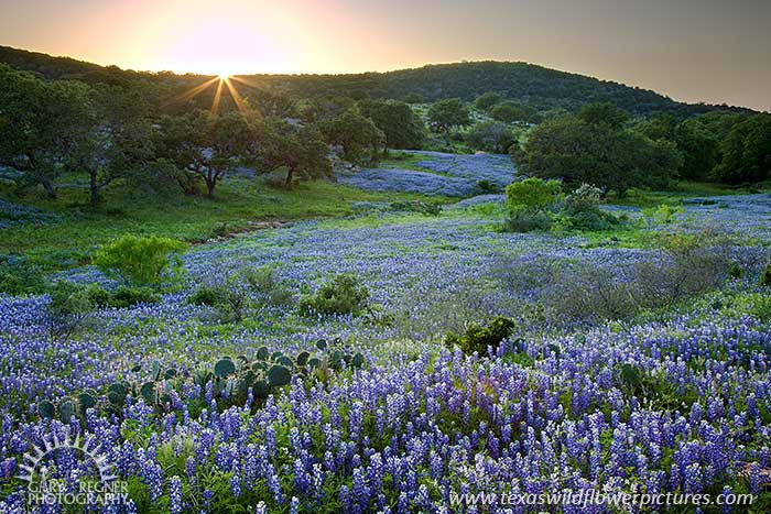 Hillside Blues - Texas Wildflowers by Gary Regner