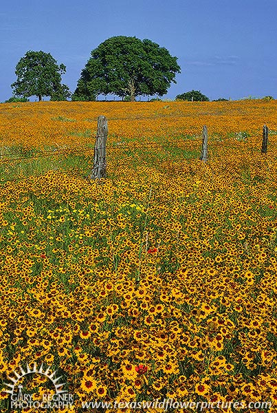 Coreopsis - Texas Wildflowers by Gary Regner