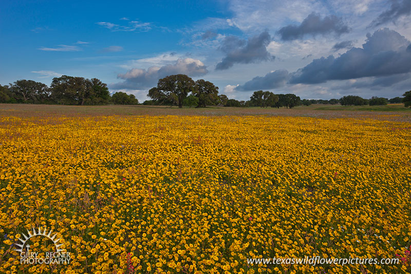Golden Carpet - Texas Wildflowers, Crown Tickseed by Gary Regner