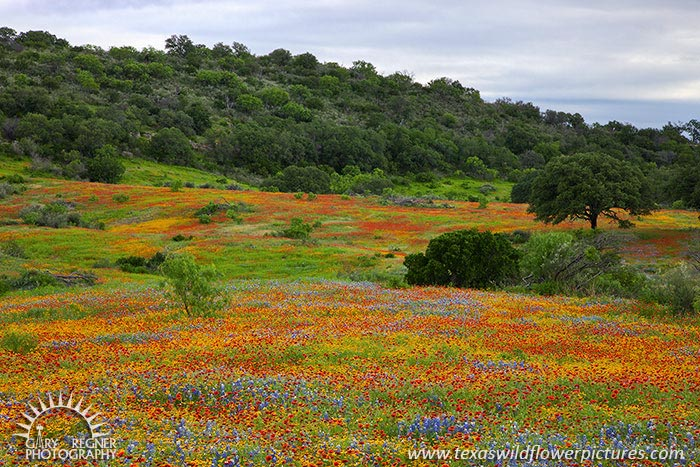 Painted Hills - Texas Wildflowers, Bluebonnets and Firewheels by Gary Regner
