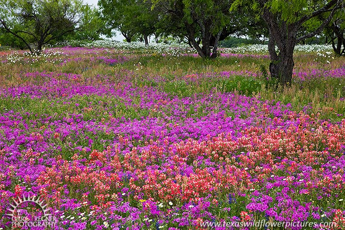 The Color of Spring - Texas Wildflowers, Phlox and Paintbrush by Gary Regner