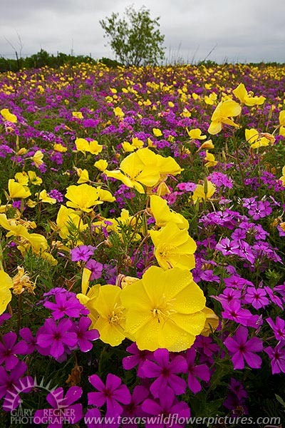 Complementary Colors - Texas Wildflowers, Phlox by Gary Regner