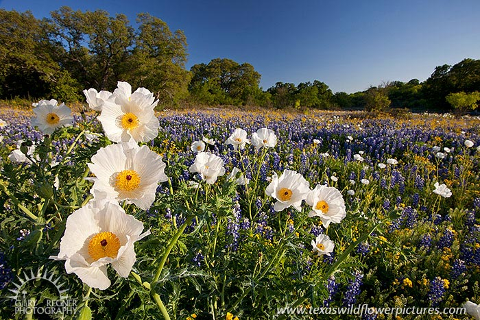 Poppies - Texas Wildflowers, Prickly Poppies by Gary Regner