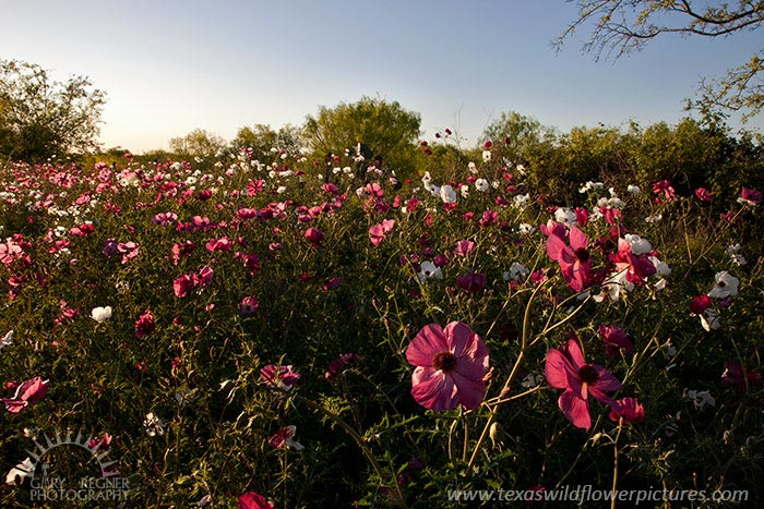 Rost Poppies - Texas Wildflowers by Gary Regner