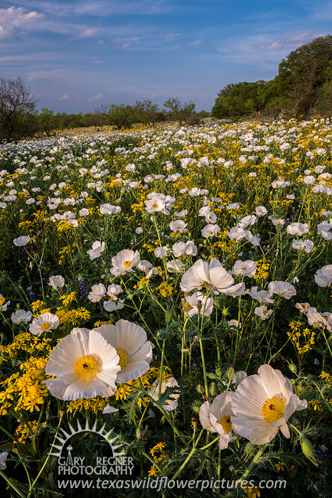 Poppy Field - Texas Wildflowers Landscape by Gary Regner