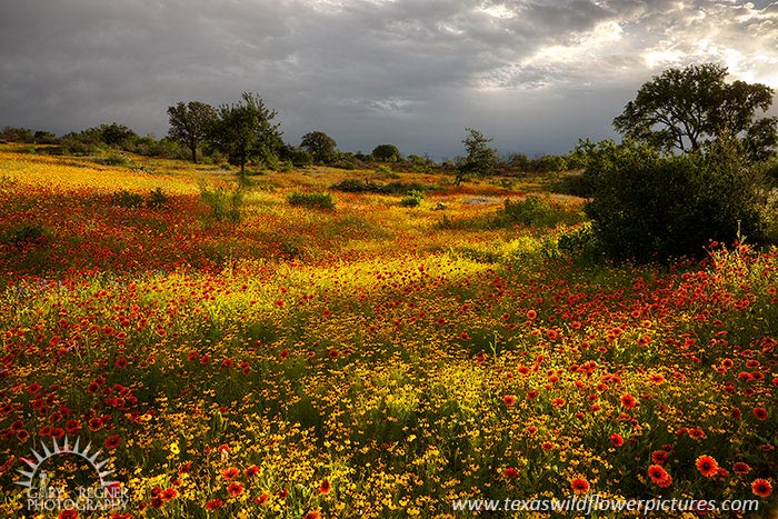 A Break in the Clouds - Texas Wildflowers at Sunrise by Gary Regner