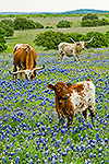 Longhorns and Bluebonnets - by Gary Regner