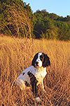 English Springer Spaniel - by Gary Regner