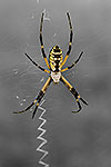Yellow Garden Spider - by Gary Regner