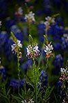 White on Blue - Texas Wildflowers, Bluebonnets and Guara by Gary Regner