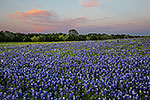 Pastel Eve - Texas Wildflowers, Bluebonnets Sunset by Gary Regner
