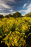 Gold Rush - Texas Wildflowers, Engelmann's Daisies Landscape by Gary Regner
