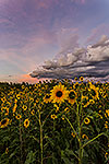 Fleur du Soleil - Texas Wildflowers, Sunflowers Sunset Landscape by Gary Regner