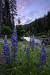 Forest Lupines - Washington Wildflowers Sunset Landscape by Gary Regner