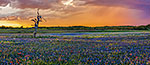 Wildflower Shower - Texas Wildflowers, Bluebonnets Sunset by Gary Regner