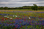A Cloudy Day - Texas Wildflowers, Bluebonnets Landscape by Gary Regner