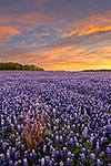 All Alone - Texas Wildflowers, Bluebonnets Sunrise by Gary Regner