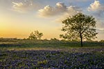 Magic Hour - Texas Wildflowers, Bluebonnets Sunrise by Gary Regner