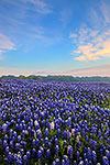 Pretty in Pink - Texas Wildflowers, Bluebonnets Sunrise by Gary Regner