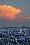 Thunderhead - Texas Wildflowers, Bluebonnets Sunset by Gary Regner