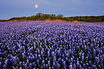 Edge of Darkness - Texas Wildflowers, Bluebonnets Sunrise by Gary Regner