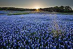 Texas Wildflowers Gallery - Spring 2014