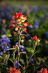 Indian Paintbrush - Texas Wildflowers by Gary Regner