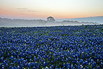Misty Morning Sunrise, Revisited - Texas Wildflowers, Bluebonnets Sunrise by Gary Regner