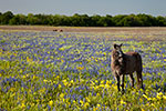 Pony - Texas Wildflowers Landscape by Gary Regner