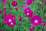 Winecups - Texas Wildflowers by Gary Regner