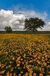 Crown Tickseed - Texas Wildflowers Landscape by Gary Regner