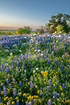 Pastoral Eve - Texas Wildflowers Bluebonnet Sunset Landscape by Gary Regner