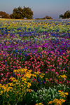 Prismatic Meadow - Texas Wildflowers Sunset Landscape by Gary Regner