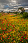 Red and Gold - Texas Wildflowers Sunrise Landscape by Gary Regner