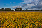 Golden Carpet - Texas Wildflowers Landscape by Gary Regner