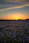 Verbena Twilight - Texas Wildflowers Verbena Sunset Landscape by Gary Regner