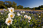 Poppies - Texas Wildflowers Landscape by Gary Regner