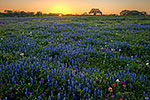 Le sacre du printemps - Texas Wildflowers, Bluebonnets at Sunset by Gary Regner