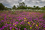 Suddenly It's Spring - Texas Wildflowers, Phlox by Gary Regner