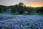 Afterglow - Texas Wildflowers, Hill Country Bluebonnets at Sunset by Gary Regner
