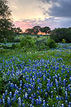 Easter Bonnets - Texas Wildflowers, Bluebonnets at Sunset by Gary Regner