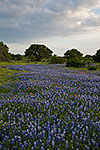 River of Blue - Texas Wildflowers, Bluebonnets by Gary Regner
